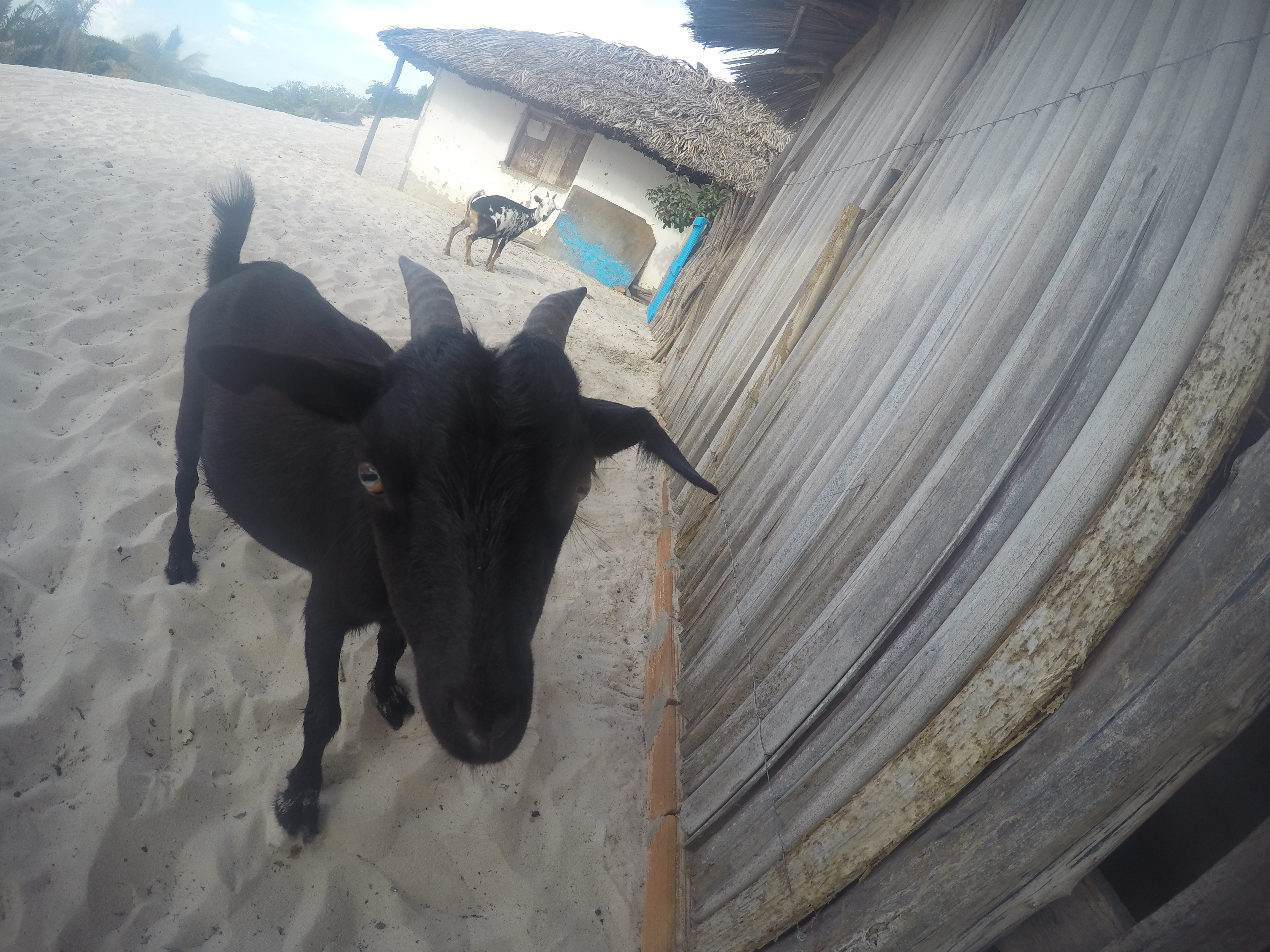 Chèvre Nordeste